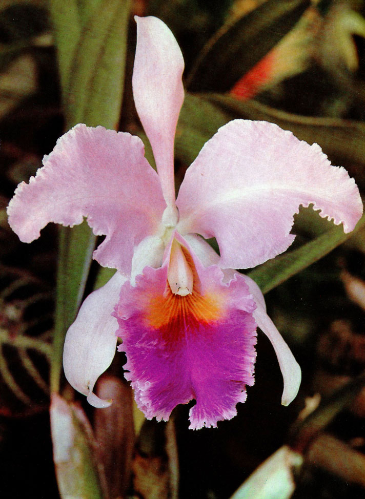 Orchideen Cattleya Trianae