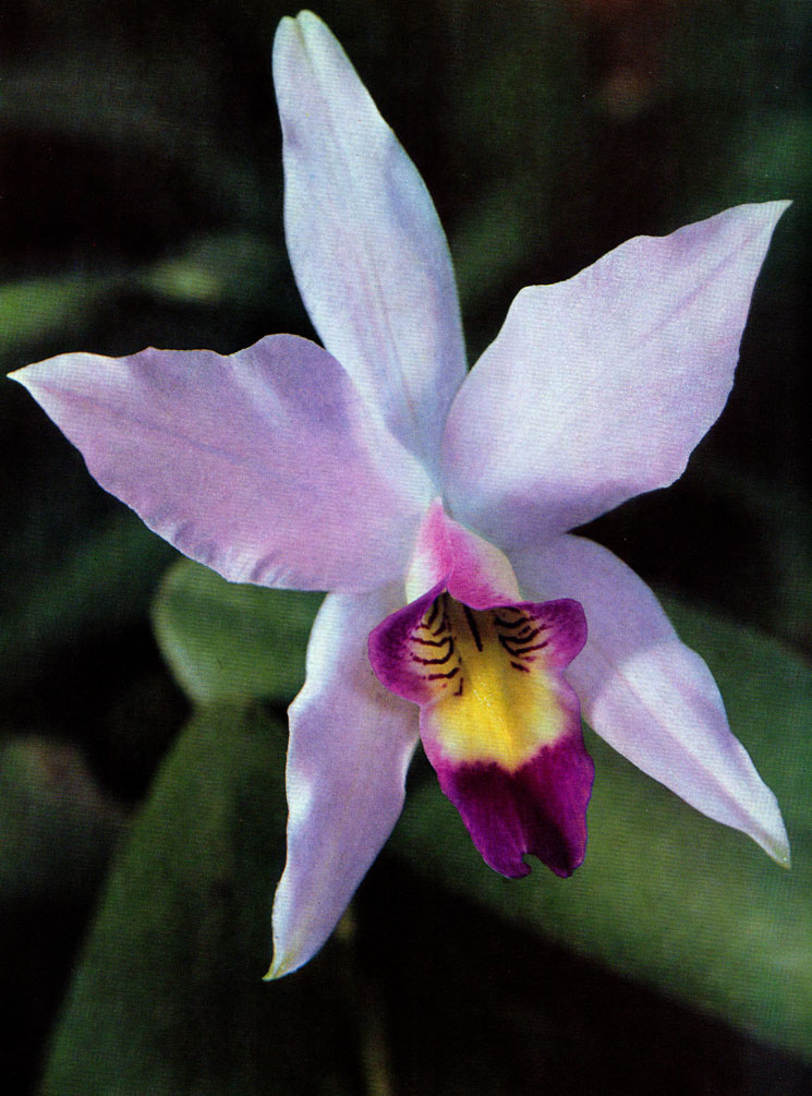 Orchideen Laelia anceps