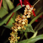 Orchideen Oncidium Cornigerum