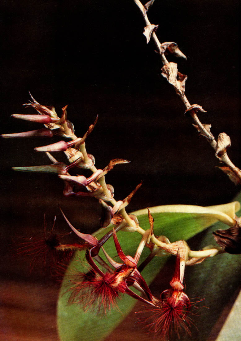 Orchideen Bulbophyllum barbigerum