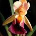 Orchideen Cochleanthes discolor